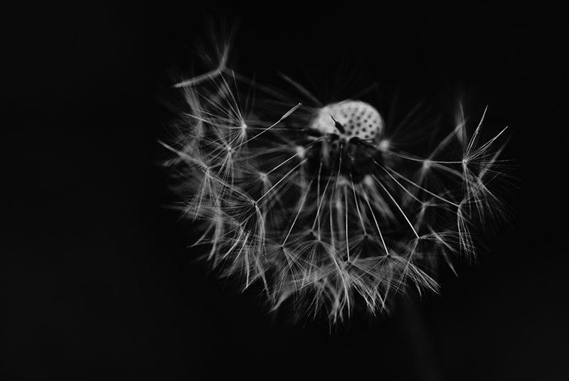 a dandelion representing the lies of satan