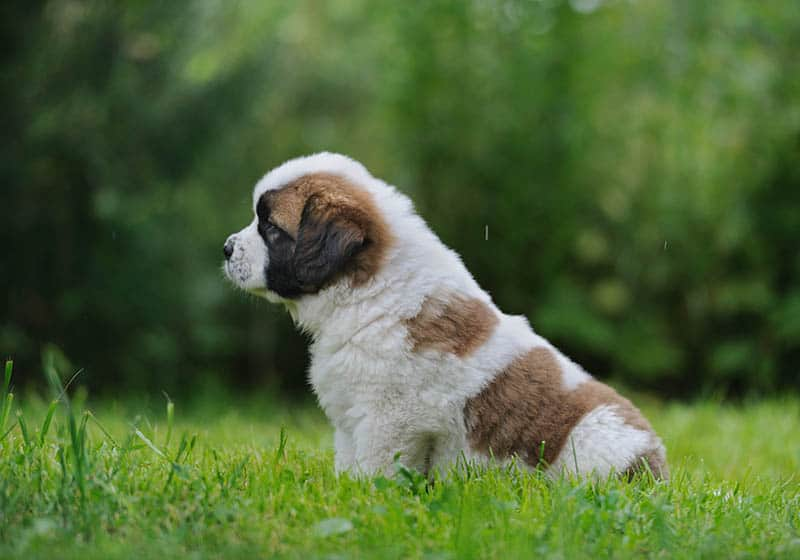 St Bernard puppy sitting in grass | three gifts of Christmas
