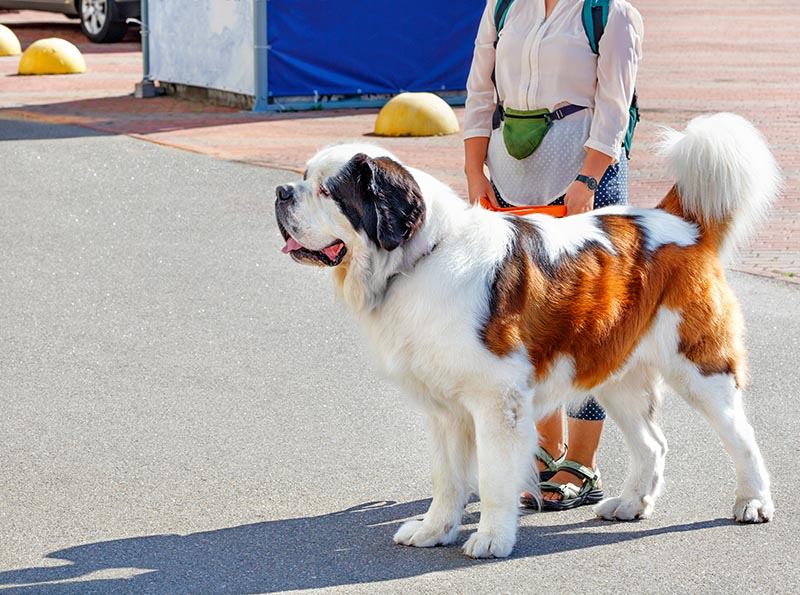 St Bernard dog with owner