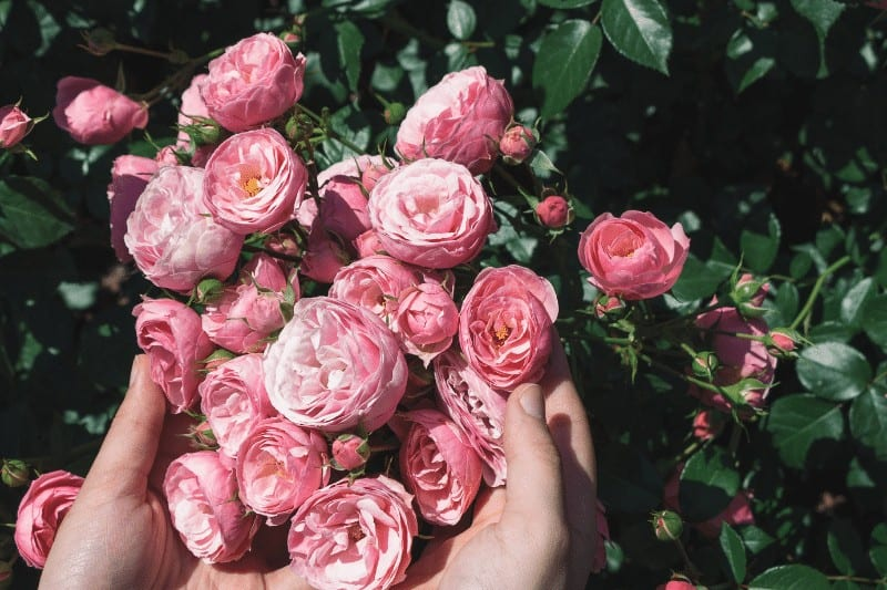 woman's hands holding a bunch of pink roses in a rose garden